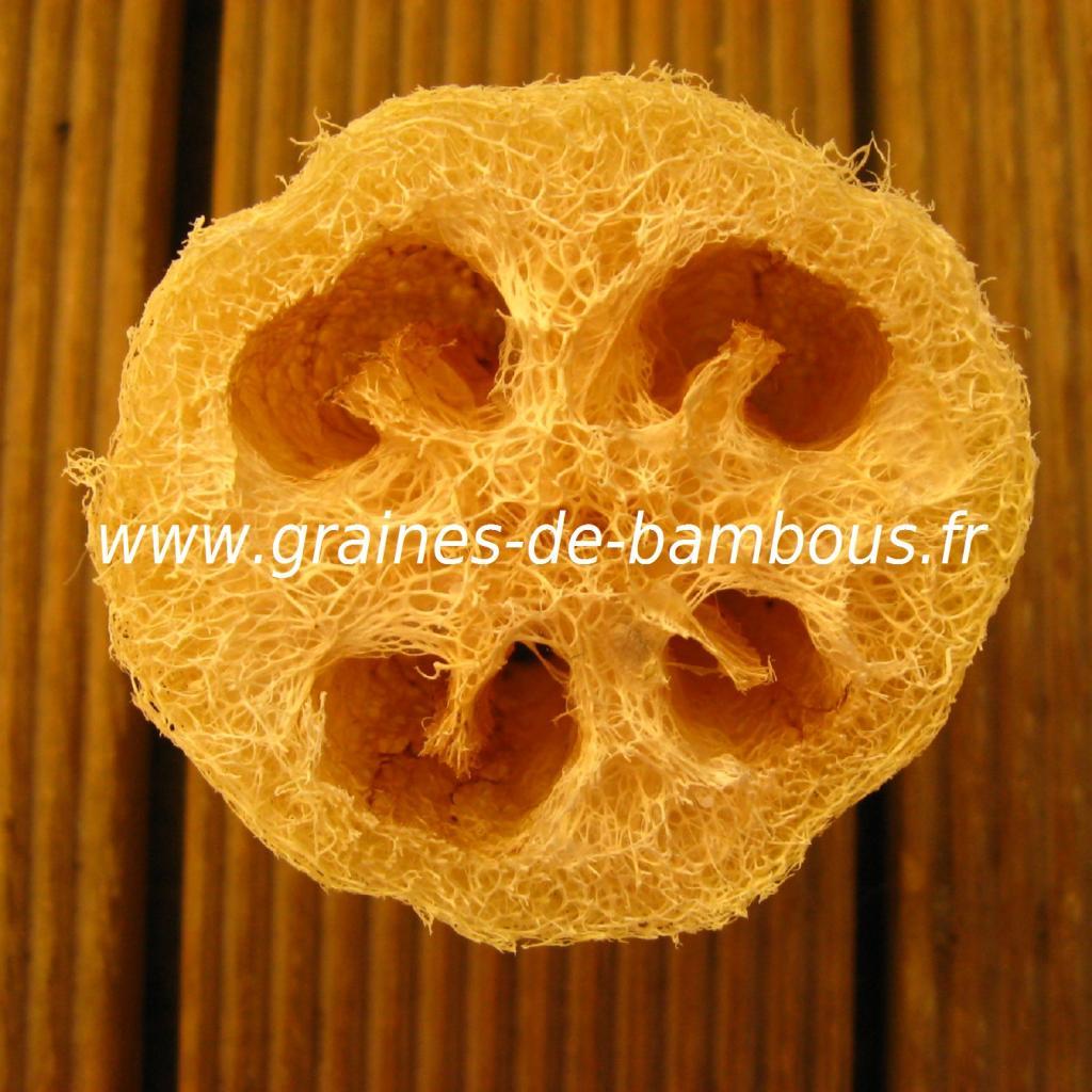 luffa-xt-longue-www-graines-de-bambous-fr-3.jpg