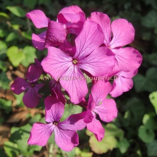 Lunaria violet honesty