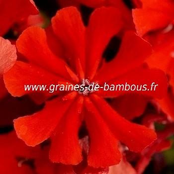 Lychnis fleur graines