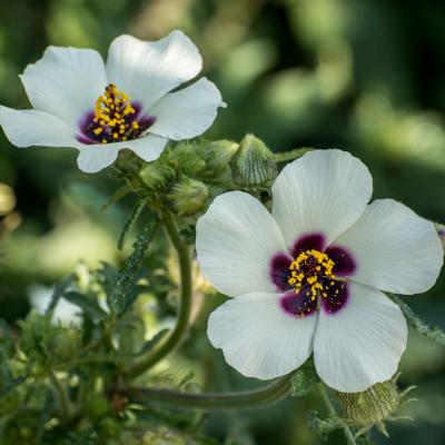 Hibiscus d'Afrique réf.211