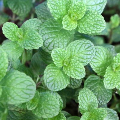 Menthe à feuilles rondes (odeur pomme) réf.106