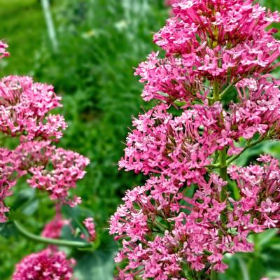 Valériane des Jardins réf.215