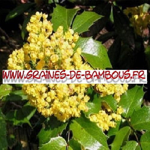 Mahonia à feuilles de houx 1000 graines