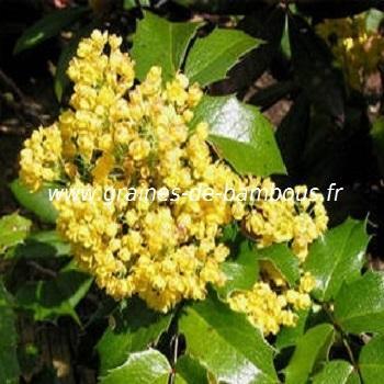 Mahonia (à feuilles de houx) réf.28