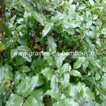 mahonia-aquifolium-a-feuilles-de-houx-www-graines-de-bambous-fr-2.jpg