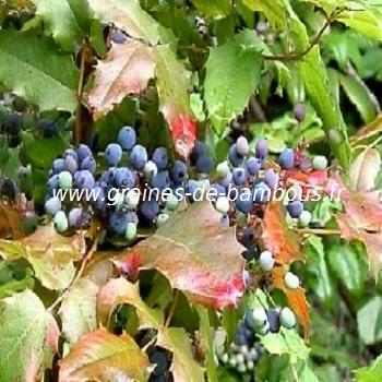 mahonia-aquifolium-a-feuilles-de-houx-www-graines-de-bambous-fr-3.jpg