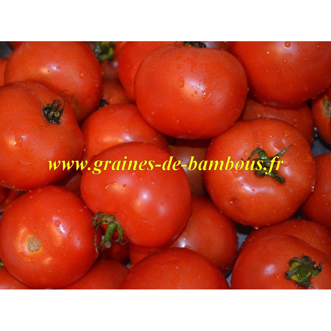Marglobe graines tomate