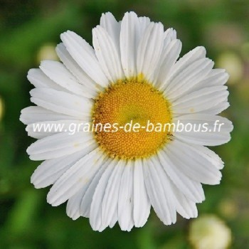Marguerite reine de mai graines de bambous fr