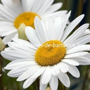 Marguerite reine de mai graines