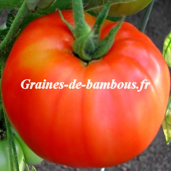 Marmande tomate grainesdebambous com