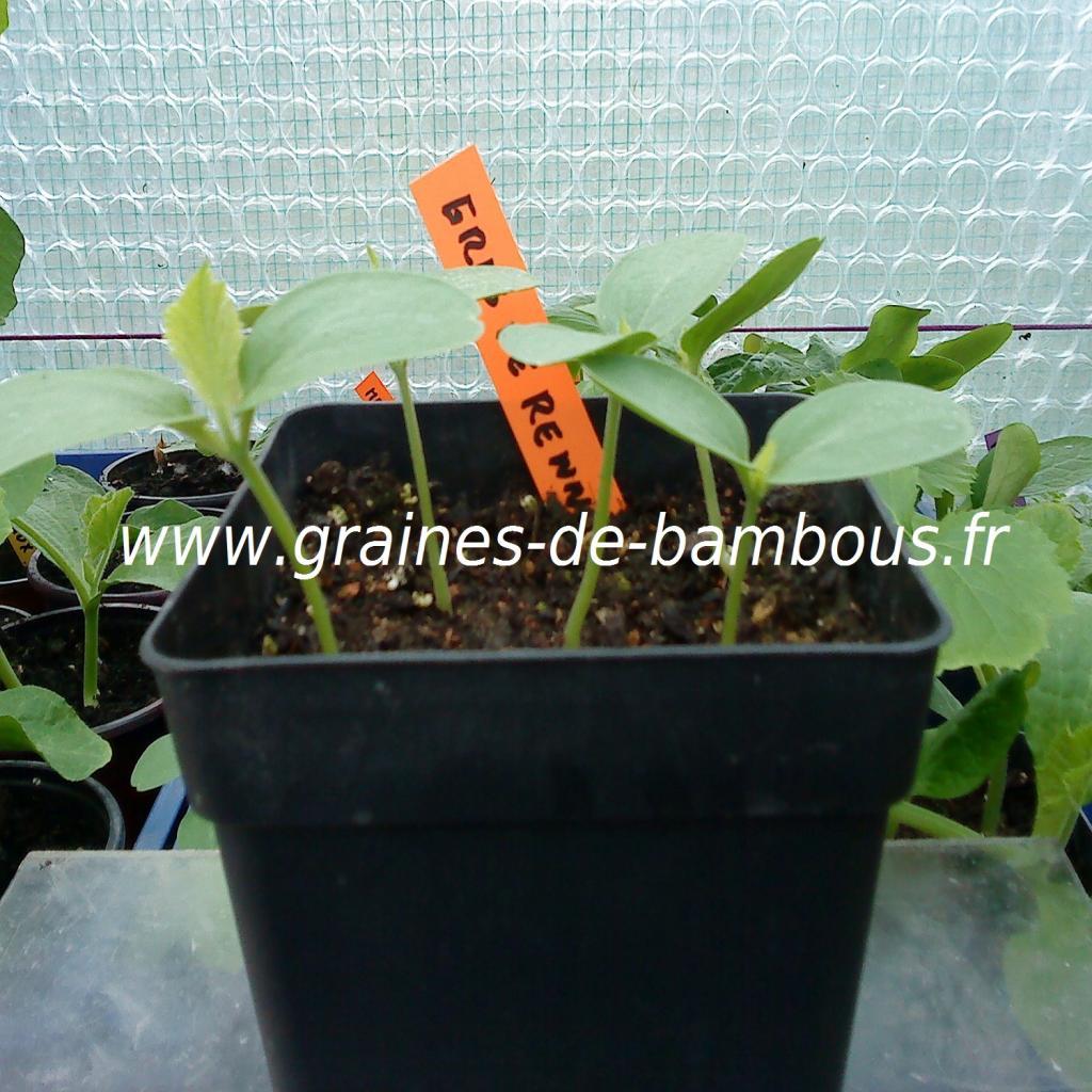 melon-petit-gris-de-rennes-semis-www-graines-de-bambous-fr.jpg