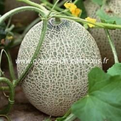 Melon cavaillon espagnol a chair rose