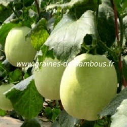 Melon honey dew melon miel graines de bambous fr