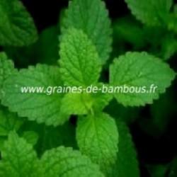 Menthe www graines de bambous fr 1