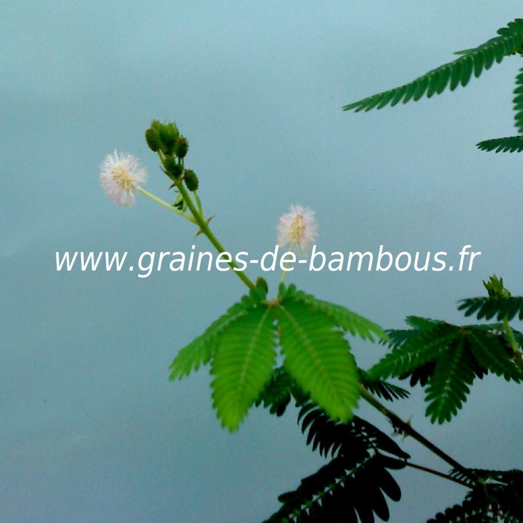mimosa-pudica-sensitive-details-fleurs-www-graines-de-bambous-fr.jpg