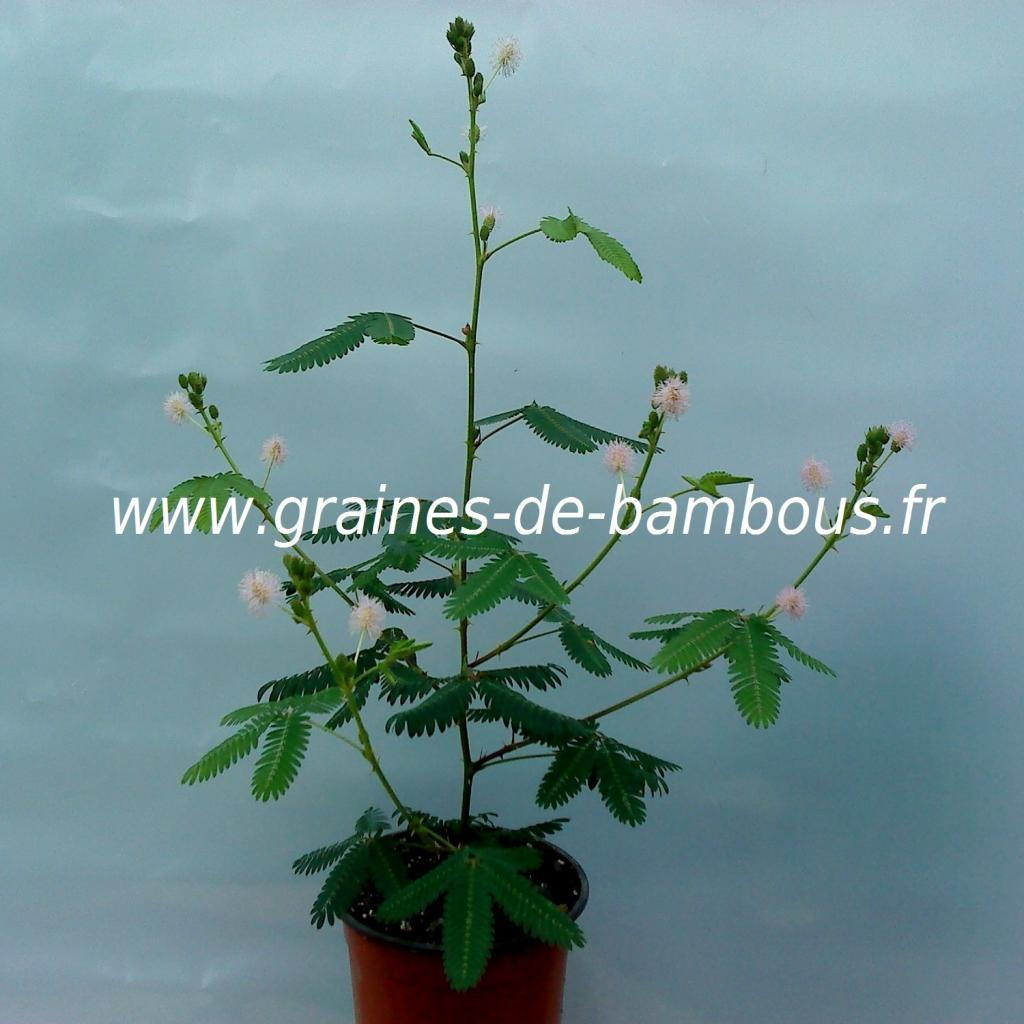 mimosa-pudica-sensitive-plant-www-graines-de-bambous-fr.jpg