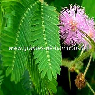 mimosa-pudica-www-graines-de-bambous-fr.jpg