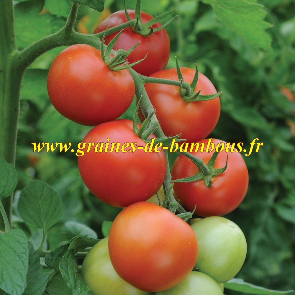 Moneymaker graines de tomate ronde rouge