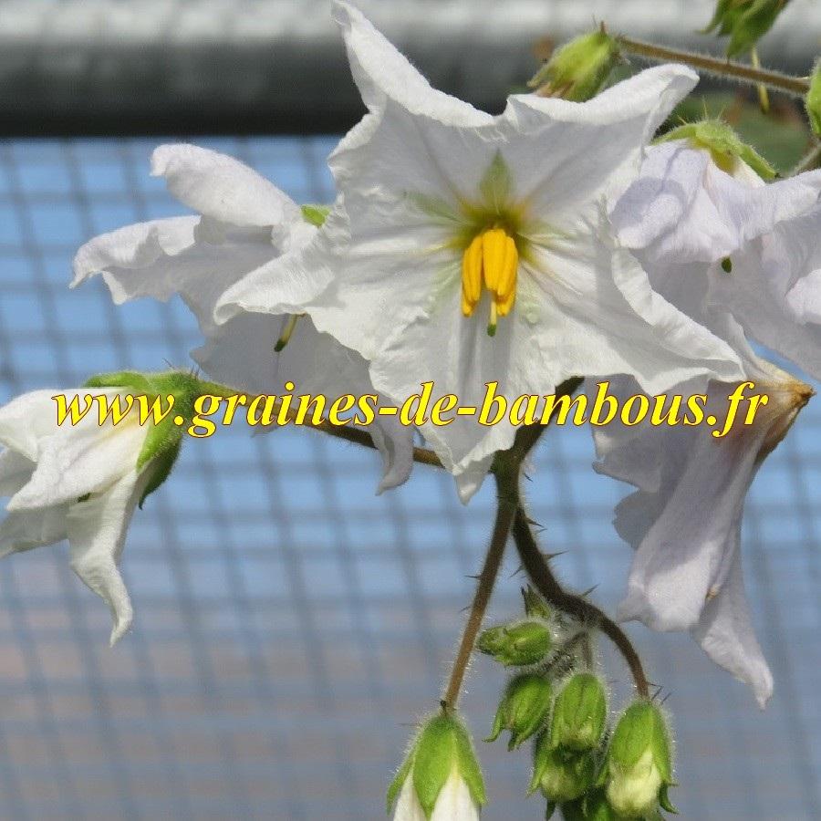 Morelles de balbis fleur