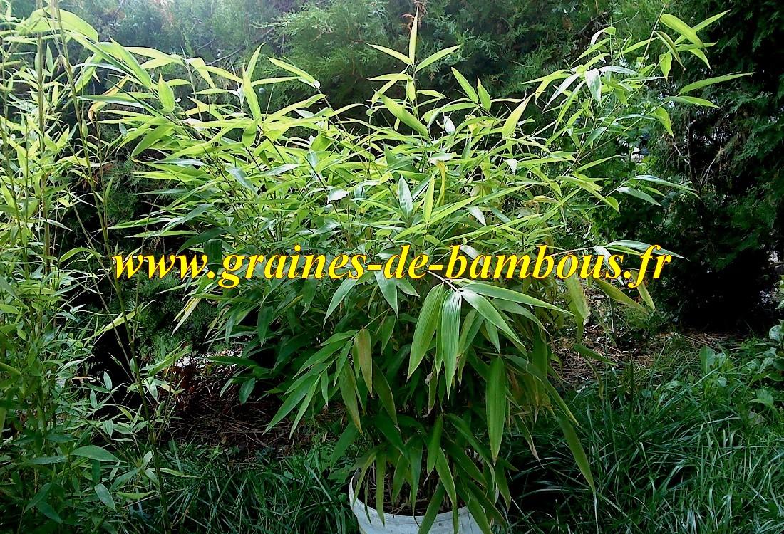 Moso semis de bambou