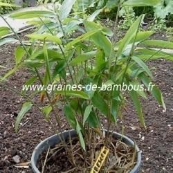 Bambous Géants Moso 200 graines réf.200