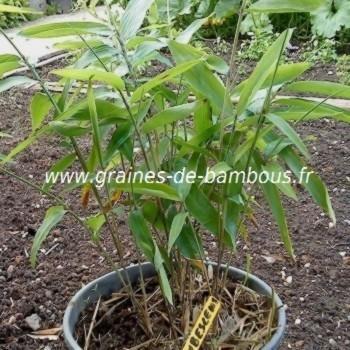 Bambous Géants Moso 100 graines réf.100
