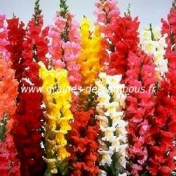 Muflier maximum à grandes fleurs variées réf.663