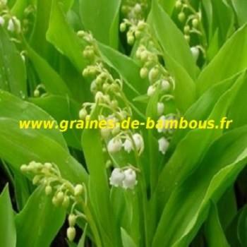 muguet-de-mai-convallaria-majalis-www-graines-de-bambous-fr.jpg