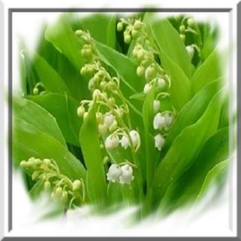 muguet-de-mai-www-graines-de-bambous-fr-www-grainesdebambous-com.jpg