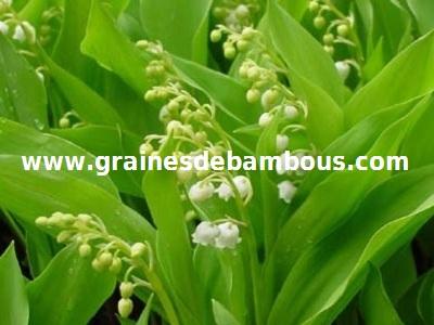 muguet-de-mai-www-grainesdebambous-com.jpg