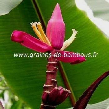 Bananier Musa Ornata purple réf.117