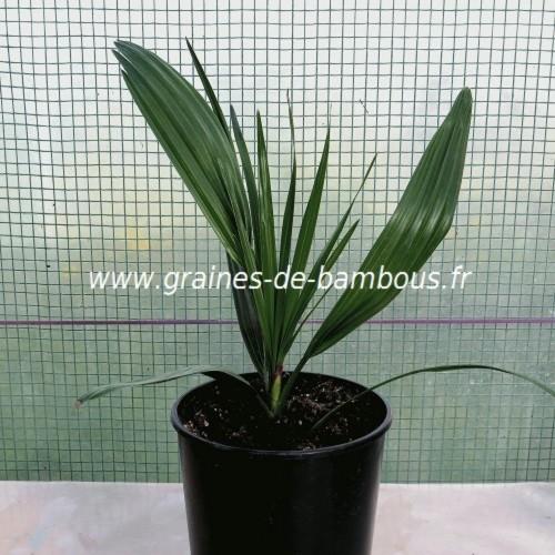 Nannorrhops arabica silver plant