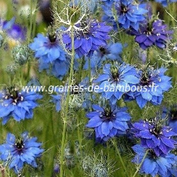 nigelle de damas miss jekyll bleu nigella damascena. Black Bedroom Furniture Sets. Home Design Ideas
