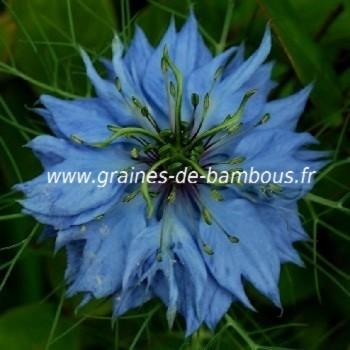Nigelle de damas graines de bambous fr