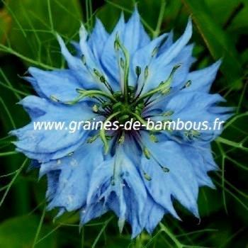 Nigelle de Damas Miss Jekyll bleu réf.733