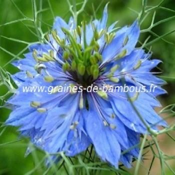 Nigelle de damas miss jekyll bleu