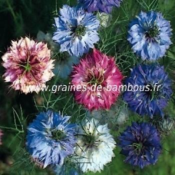 Nigelle de damas persian jewels graines