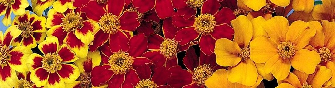 semences oeillet rose d 39 inde tagetes graines de. Black Bedroom Furniture Sets. Home Design Ideas