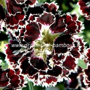 Oeillet de chine dianthus chinensis