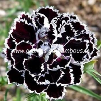Oeillet de chine Heddewigii black & white réf.740