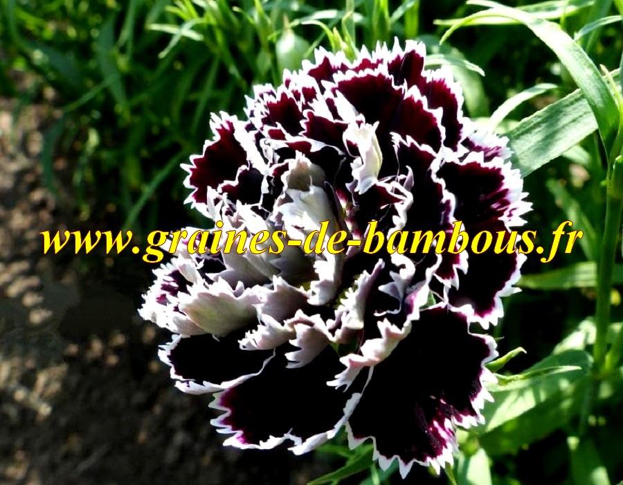 graines rares oeillet de chine double noir et blanc. Black Bedroom Furniture Sets. Home Design Ideas