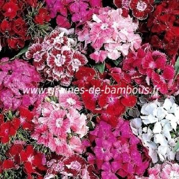 Graines oeillet de po te double vari dianthus barbatus - Pensee fleur vivace ou annuelle ...