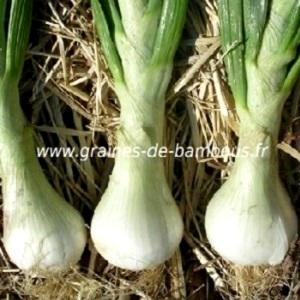 Oignon blanc de paris graines de bambous fr