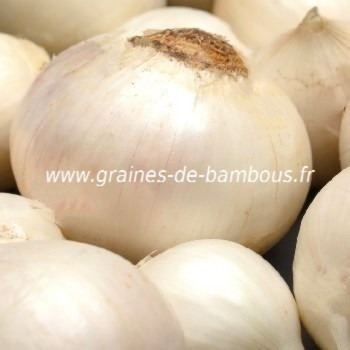 Oignon blanc de paris semences graines