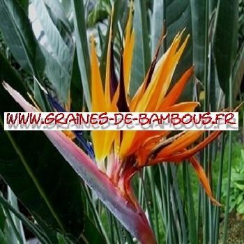 Strelitzia reginae Oiseau de Paradis 100 graines