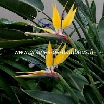 oiseau-de-paradis-mandela-gold-www-graines-de-bambous-fr.jpg