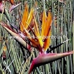 Oiseau de paradis strelitzia juncea graines
