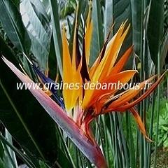 oiseau-de-paradis-www-graines-de-bambous-fr-1.jpg