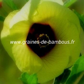 okra-rouge-fleur-www-graines-de-bambous-fr.jpg