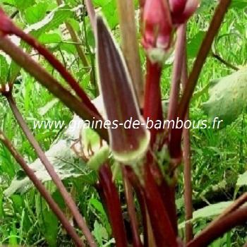okra-rouge-www-graines-de-bambous-fr-1.jpg